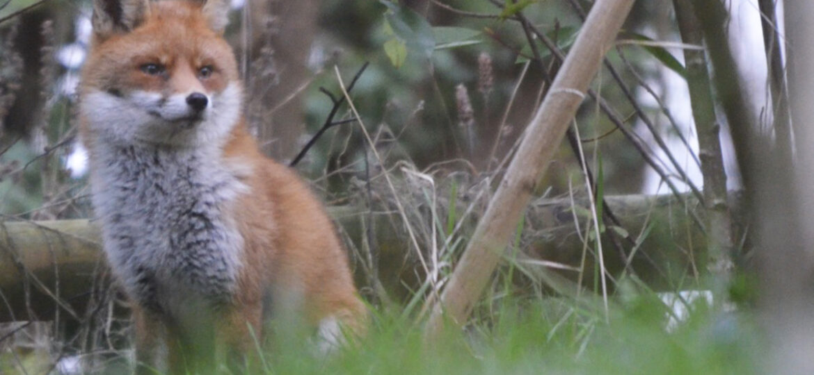 Fox at Dapple House